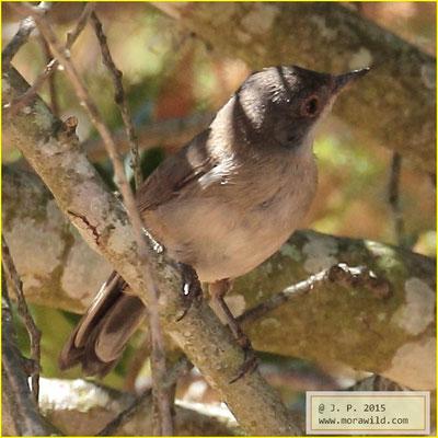 Sardinian Warbler- Toutinegra dos valados -  Sylvia melanocephala