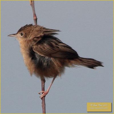 Zitting Cisticola - Fuinha dos juncos - Cisticola juncidis