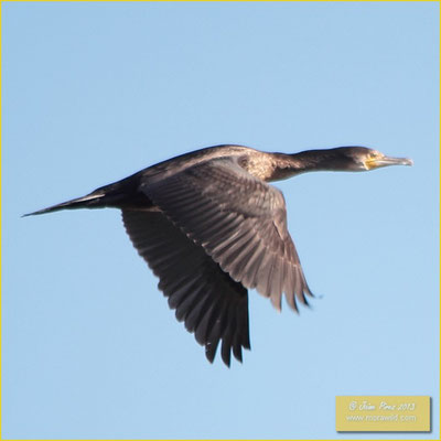 Great Cormorant - Corvo Marinho - Phalacrocorax carbo