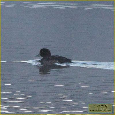 Tufted Duck - Zarro negrinha - Aythya fuligula