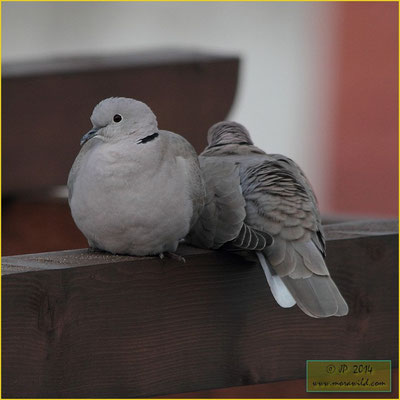 Eurasian Collared-Dove - Rola de colar - Streptopelia decaocto