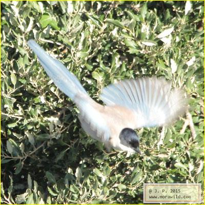 Iberian Magpie - Charneco - Cyanopica cooki