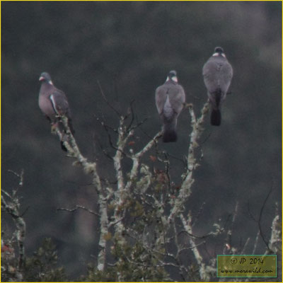 Common Wood-Pigeon - Pombo torcaz - Columba palumbus
