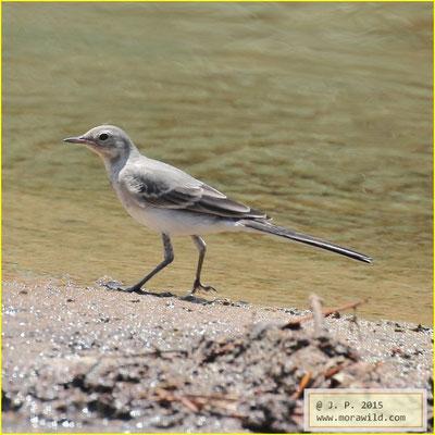 White Wagtail - Alvéola branca - Motacilla alba