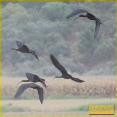 Glossy Ibis - Íbis-preta - Plegadis falcinellus