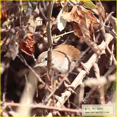 Cetti's Warbler - Rouxinol bravo - Cettia cetti