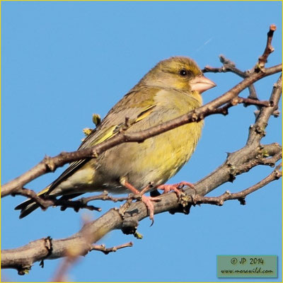 European Greenfinch - Verdilhão - Chloris chloris