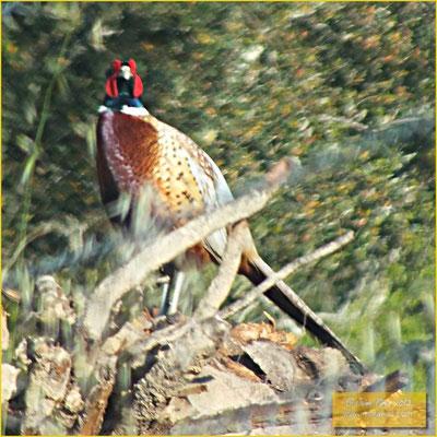 Ring-necked Pheasant - Faisão -  Phasianus colchicus