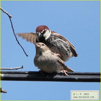 Spanish Sparrow - Pardal espanhol - Passer hispaniolensis