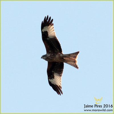 Red Kite - Milhafre real - Milvus milvus