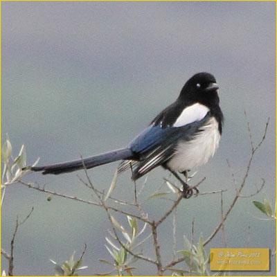 Eurasian Magpie - Pega - Pica pica