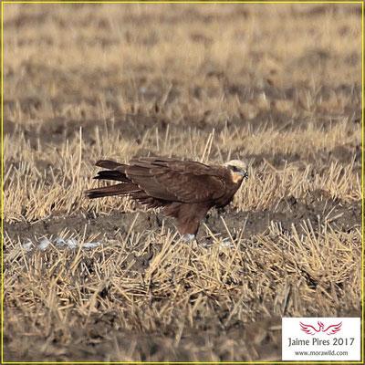 Eurasian Marsh-Harrier - Águia sapeira - Circus aeruginosus