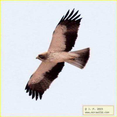 Booted Eagle - Águia calçada - Hieraaetus pennatus