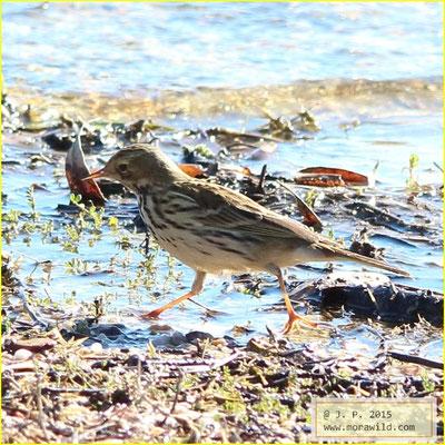 Meadow Pipit - Petinha dos prados - Anthus pratensis