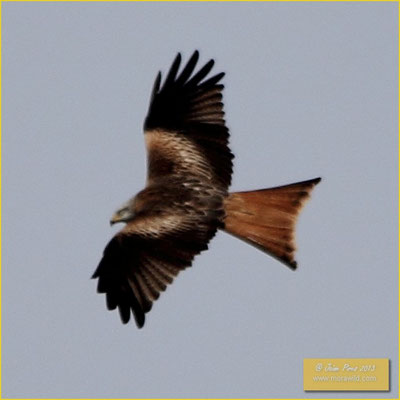 Red Kite - Milhafre real - Milvus milvus