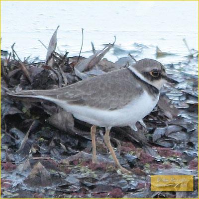 Little Ringed Plover - Borrelho pequeno de coleira - Charadrius dubius