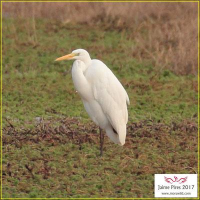 Great Egret - Garça branca grande - Ardea alba