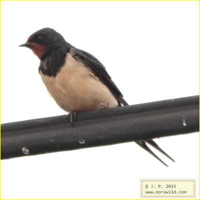 Barn Swallow - Andorinha das chaminés - Hirundo rustica
