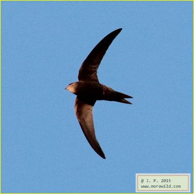 Pallid Swift - Andorinhão pálido - Apus pallidus