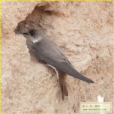 Bank Swallow - Andorinha das barreiras - Riparia riparia
