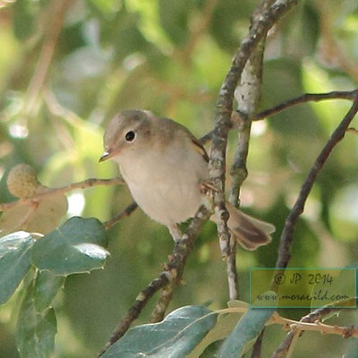 Western Bonelli's Warbler - Felosa de papo branco - Phylloscopus bonelli