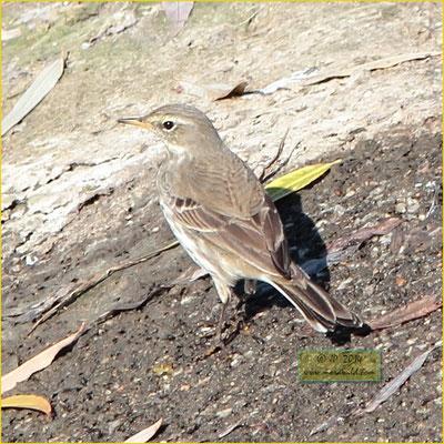 Water Pipit - Petinha ribeirinha - Anthus spinoletta