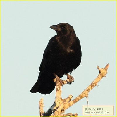 Carrion Crow - Gralha preta - Corvus corone