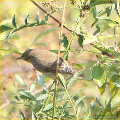 Melodious Warbler - Felosa poliglota - Hippolais polyglotta