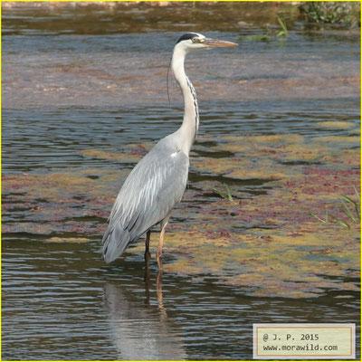 Gray Heron - Garça-real  - Ardea cinerea