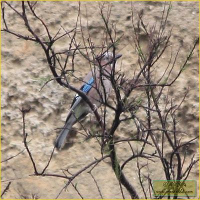 Eurasian Jay - Gaio - Garrulus glandarius