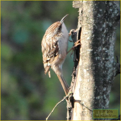 Trepadeira-do-sul Certhia brachydactyla
