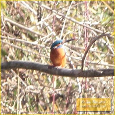 Kingfishers - Guarda rios - Alcedo atthis
