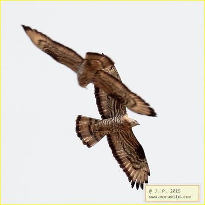Honey Buzzard - Búteo vespeiro - Pernis apivorus