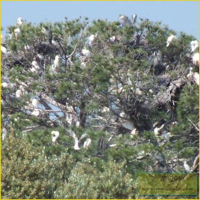 Cattle Egret - Carraceiro - Bubulcus ibis