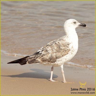Lesser Black-backed Gull - Gaivota d'asa escura - Larus fuscus