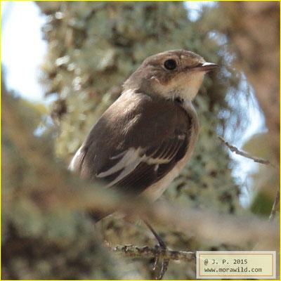 European Pied Flycatcher - Papa moscas preto - Ficedula hypoleuca