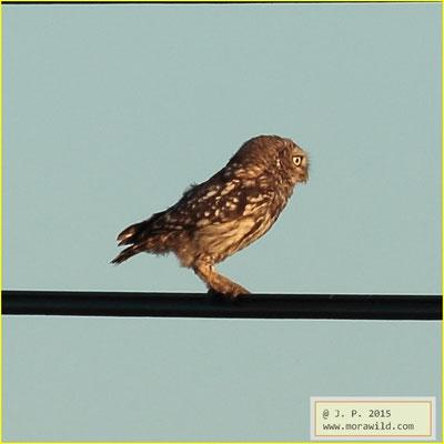 Little Owl - Mocho galego - Athene noctua