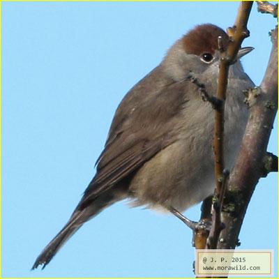 Eurasian Blackcap - Toutinegra-de-barrete Sylvia atricapilla