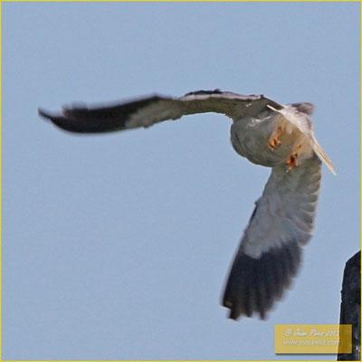 Black-shouldered Kite - Peneireiro cinzento - Elanus caeruleus