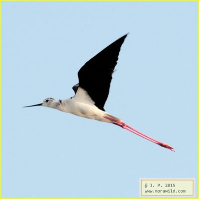 Black-winged Stilt - Pernilongo - Himantopus himantopus