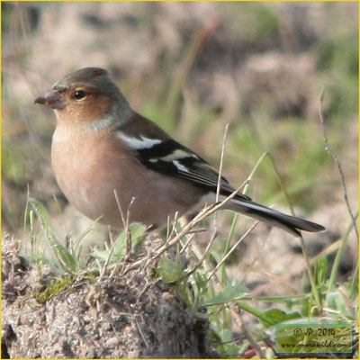Common Chaffinch - Tentilhão - Fringilla coelebs