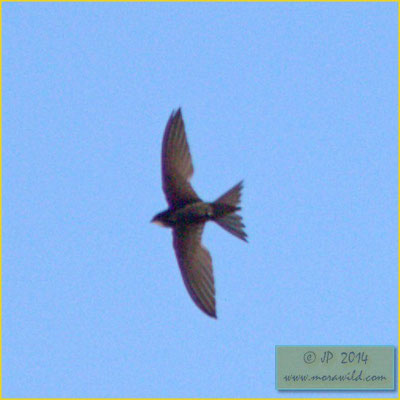 Common Swift - Andorinhão preto - Apus apus