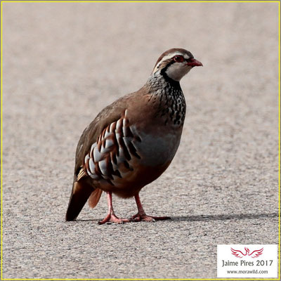 Red-legged Partridge - Perdiz - Alectoris rufa