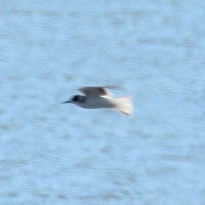 Black Tern - Chlidonias niger - Gaivina preta