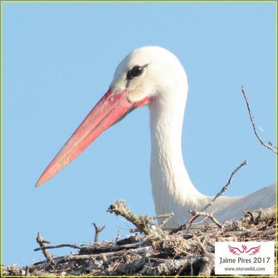 White stork - Cegonha-branca - Ciconia ciconia