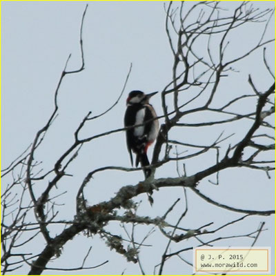 Great Spotted Woodpecker - Pica pau malhado - Dendrocopos major