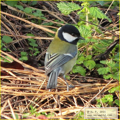 Great Tit - Chapim real - Parus major