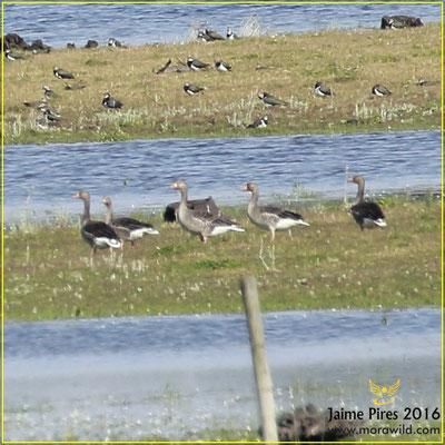 Greylag goose - Ganso bravo - Anser anser