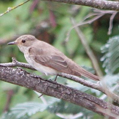 Spotted Flycatcher - Taralhão cinzento - Muscicapa striata