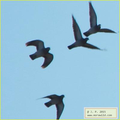 Stock Dove - Seixa - Columba oenas